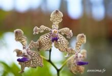 Les orchidées du Sri Lanka
