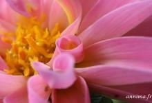 Fleurs toulousaines